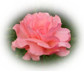 Image result for angel and pink rose