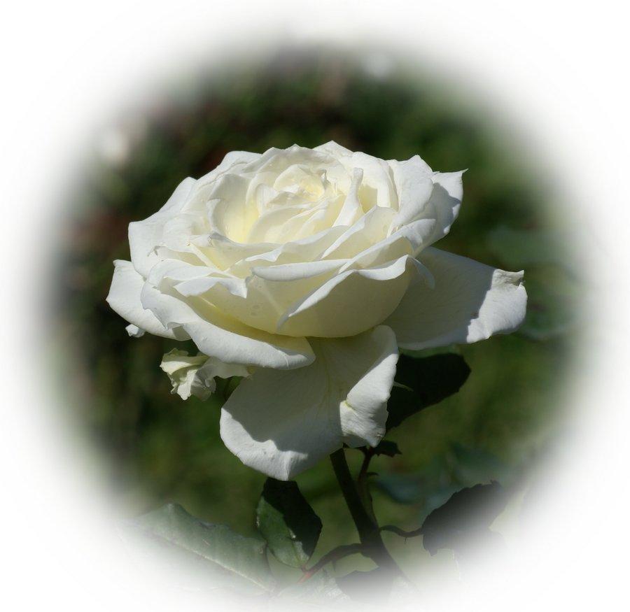 Rosas amarillas imgenes de archivo vectores rosas banco - Significado rosas blancas ...