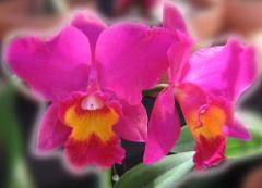 ecard - Hot Pink Orchids - couple