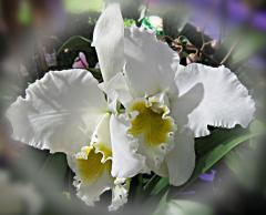Beautiful White Orchid ecard