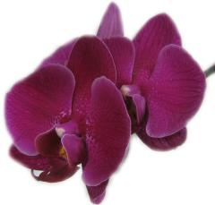 Dark Purple Orchid ecard