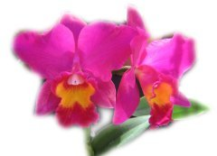 Hot Pink Orchid ecard