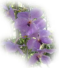 Beautiful Lilac Orchid ecard