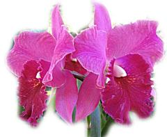 ecard - Magenta Orchids - couple