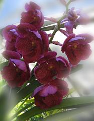 Purple Orchids ecard