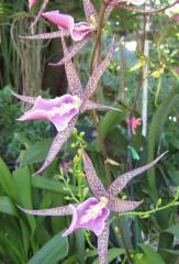 Beautiful Starlike Orchid ecard