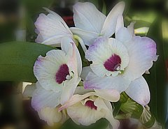 Big White Orchid ecard