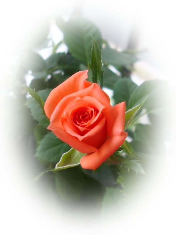 http://www.allabouthappylife.com/greeting_cards/beautiful_roses/rose_card_dsc00674.jpg