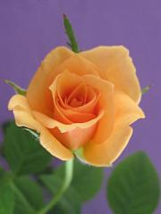 beautiful_rose_2603.jpg