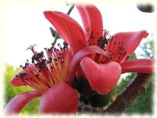 Huge red Kapok bloom