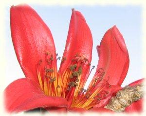 Kapok tree flower