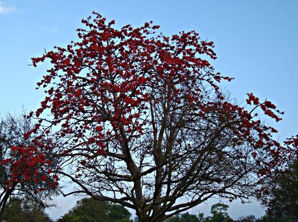 Kapok tree in full of bloom