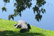 big floridian alligator
