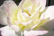 Angel White Rose
