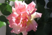 Candy Pink Rose