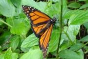 orange&black butterfly