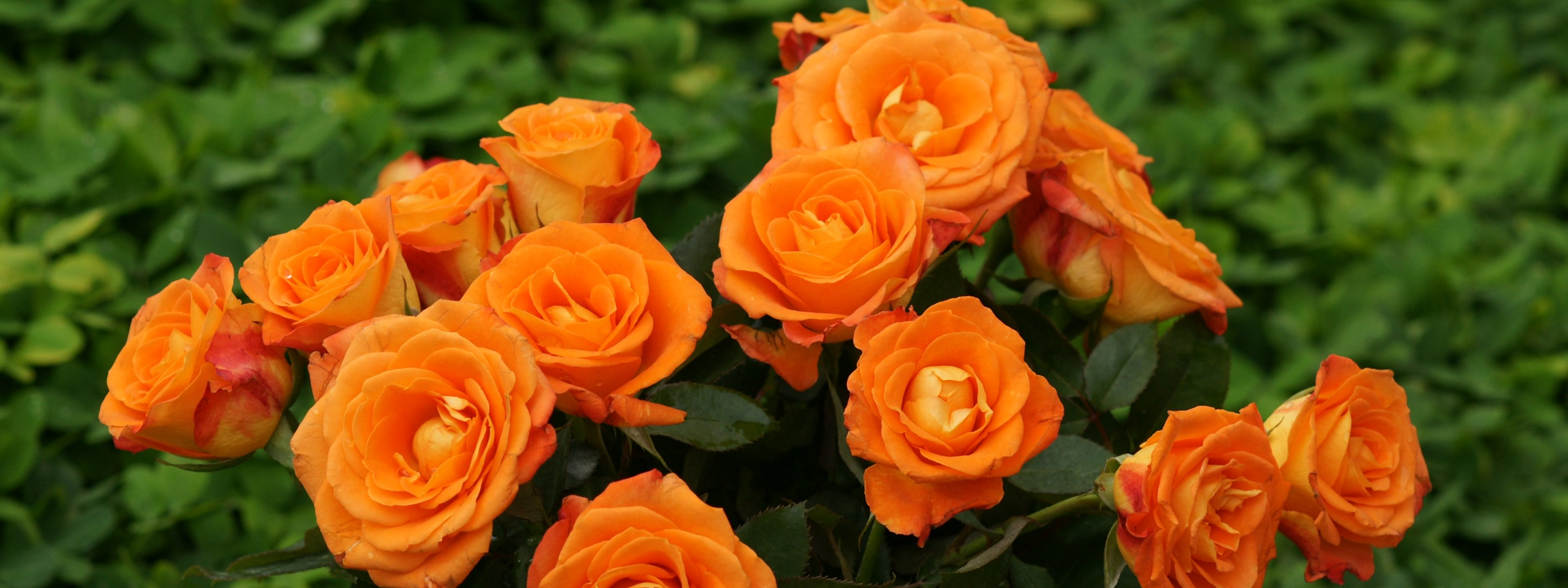 Orange roses - Dual screen wallpaperOrange Roses Wallpaper
