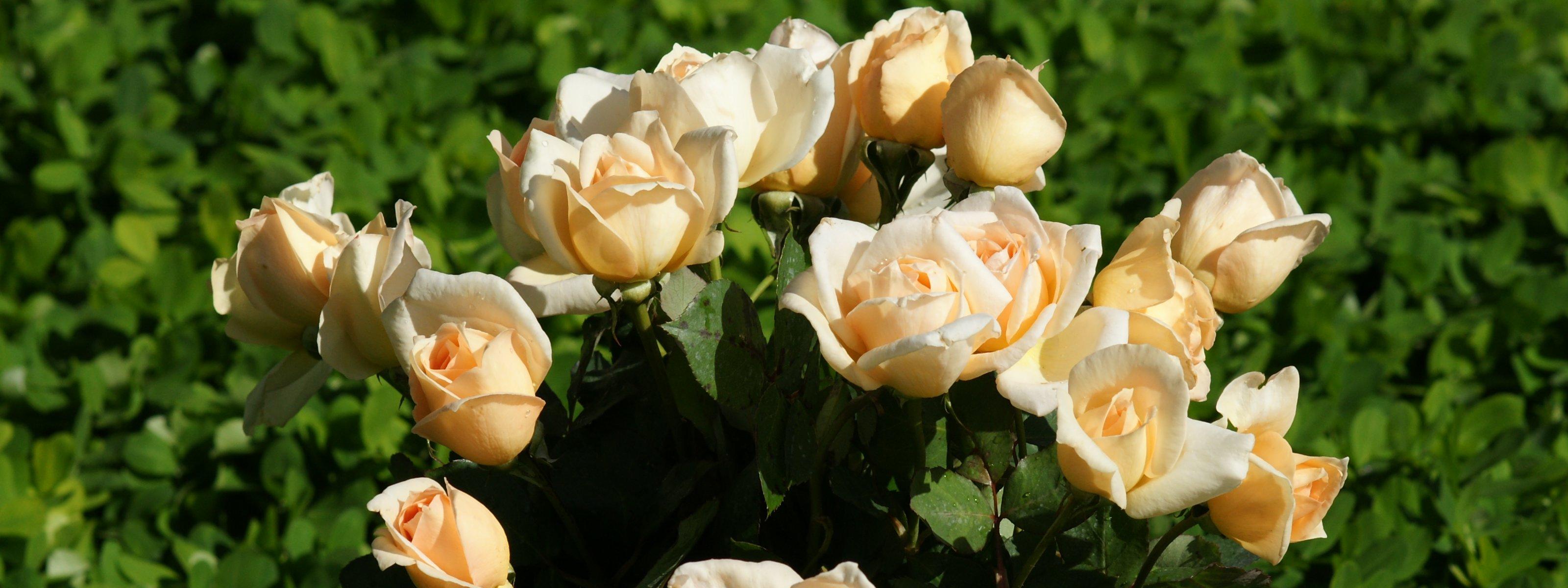 Roses dual monitor wallpapers - Peach rose wallpaper ...