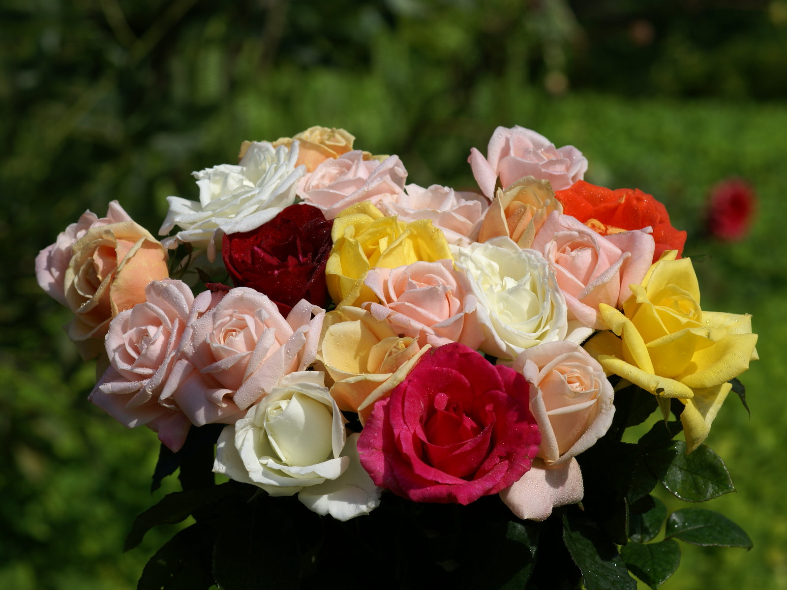 Fondos de pantalla de paisajes, flores, rosas y jardines