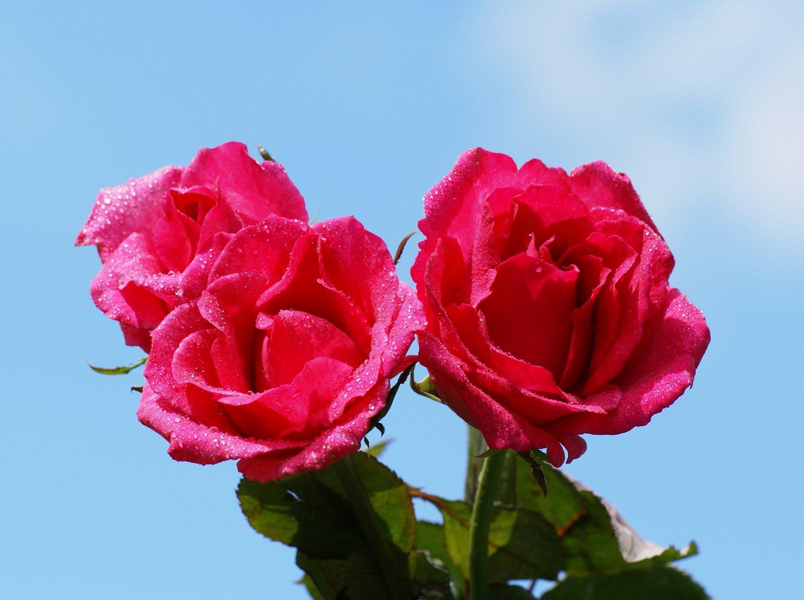 Rosas hermosas fotos rosas m s bellas fondos de pantalla - Rosas rosas hermosas ...