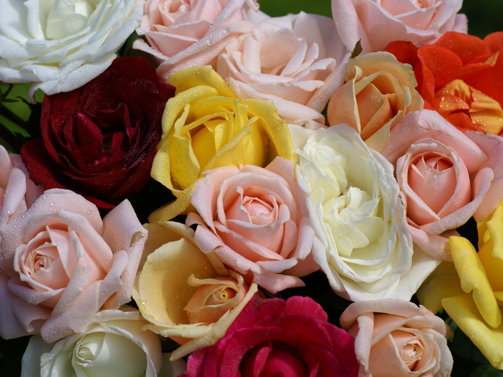 """Résultat de recherche d'images pour """"tres belles images de roses"""""""