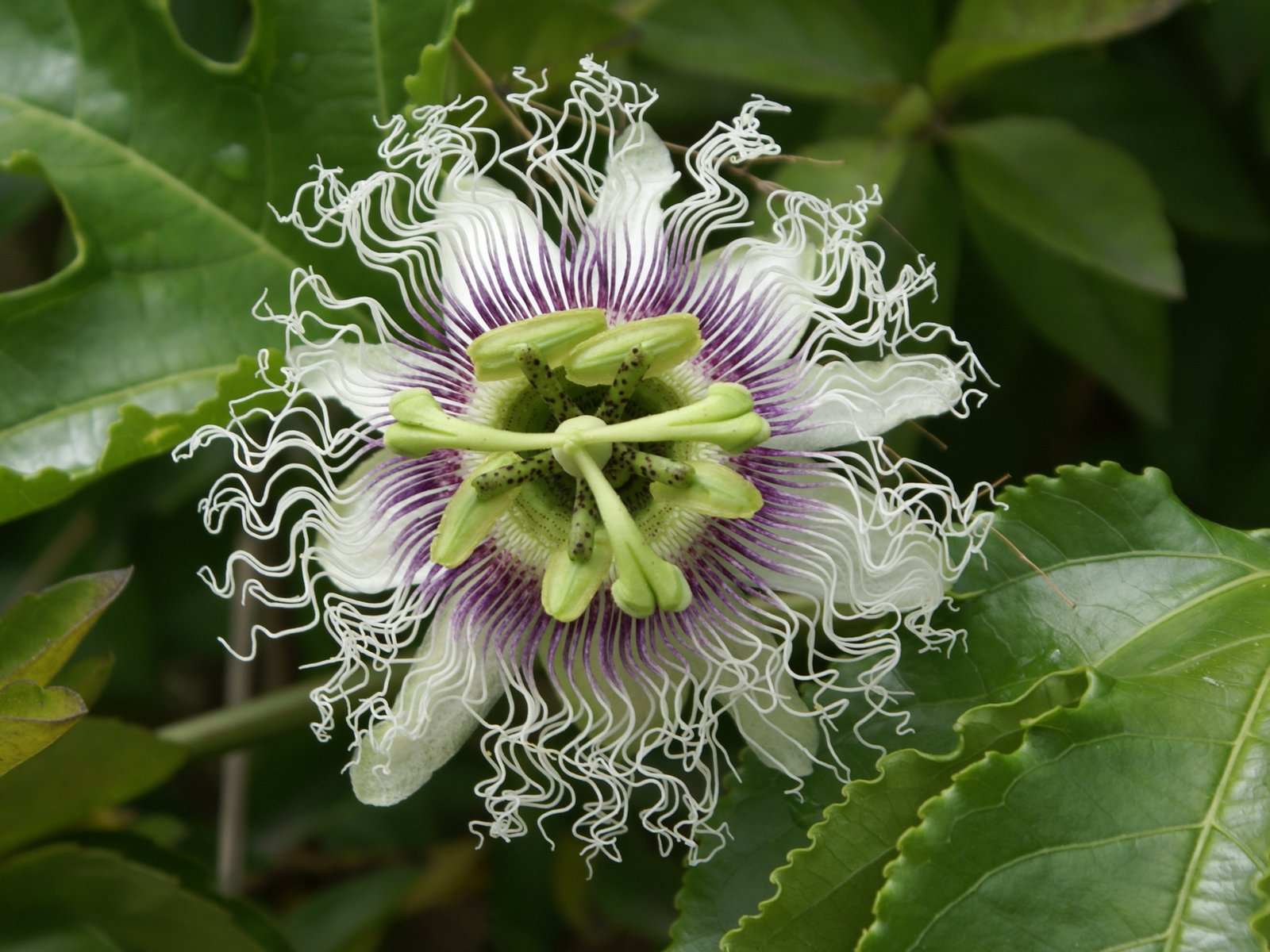 Granadilla fruit flowers