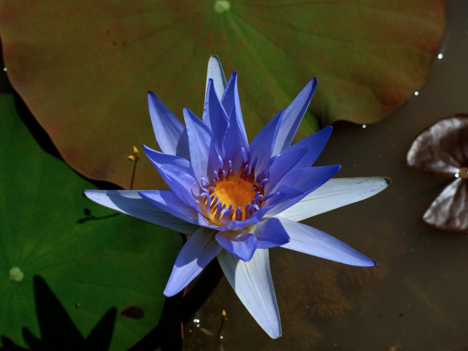 seerosen und lotusblumen aus kambodscha. Black Bedroom Furniture Sets. Home Design Ideas