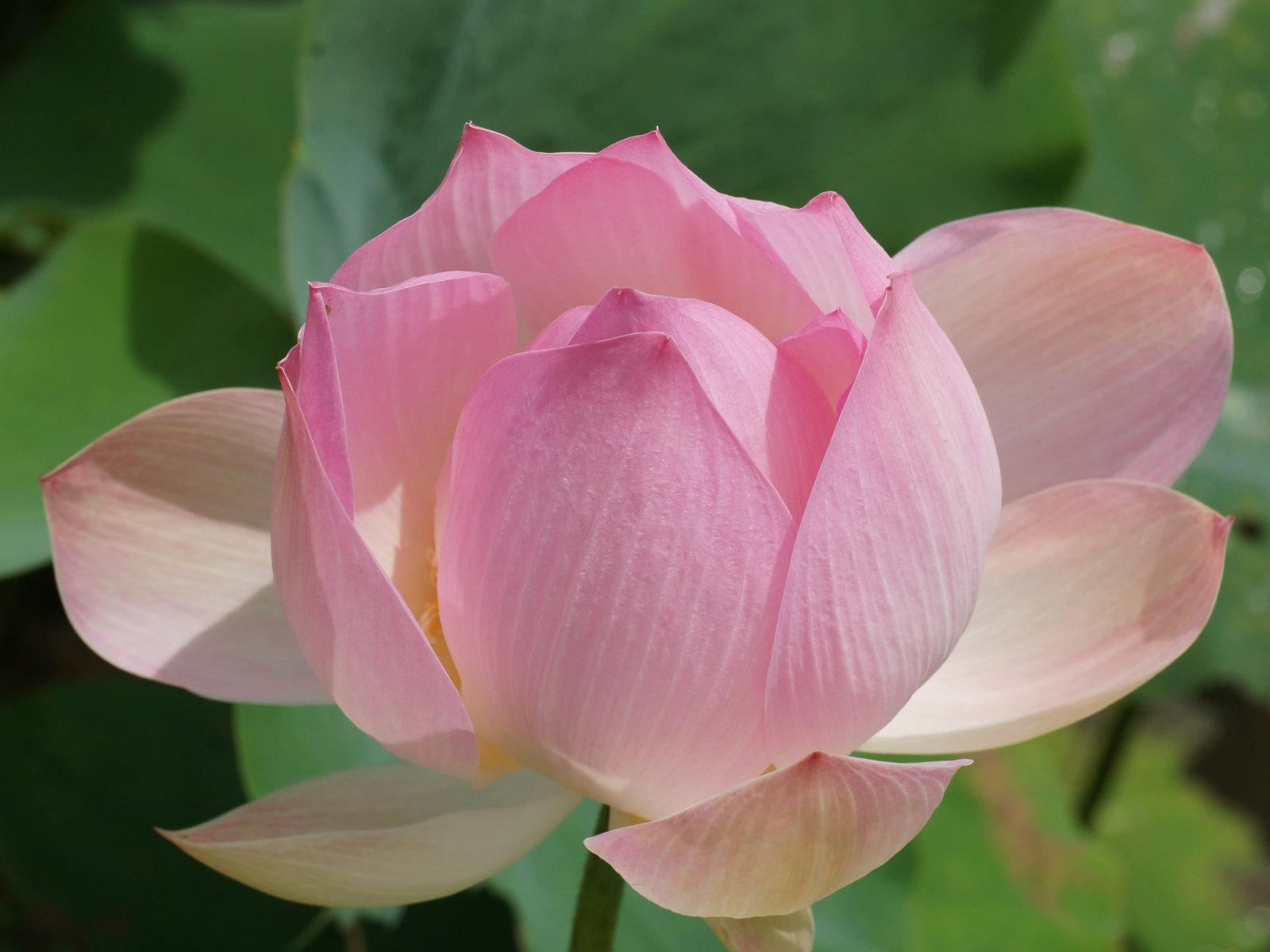Pink lotus flower wallpaper lotus flower wallpapers wallpaper cave pink lotus flower wallpaper download izmirmasajfo