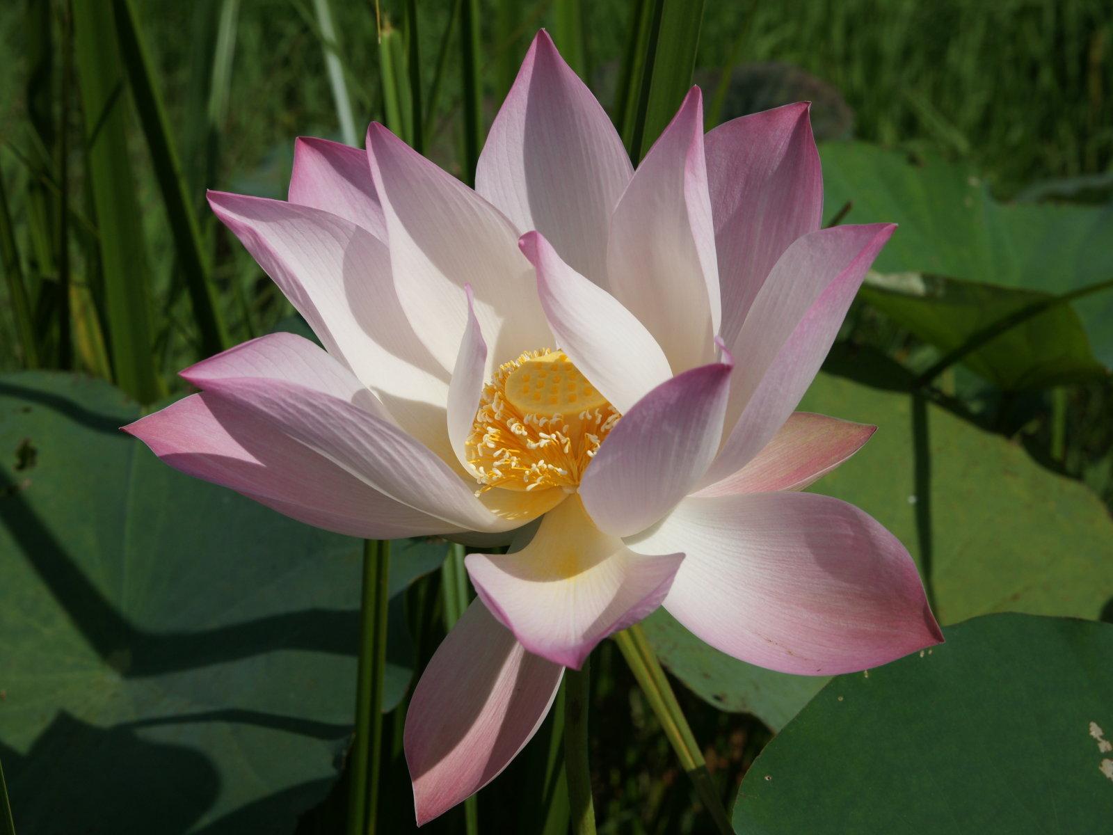 blue lotus flower MEMES