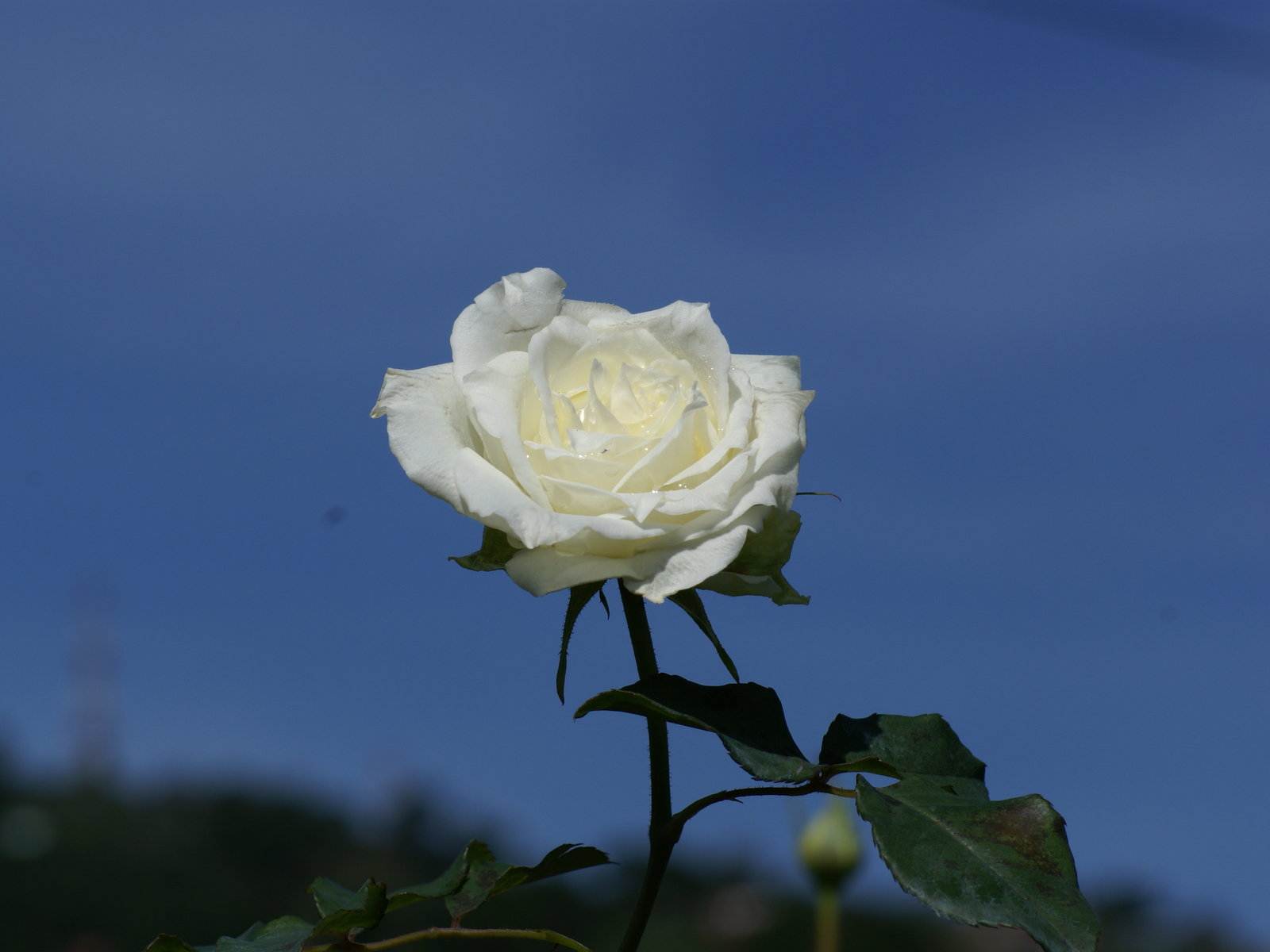 most beautiful white roses wallpapers