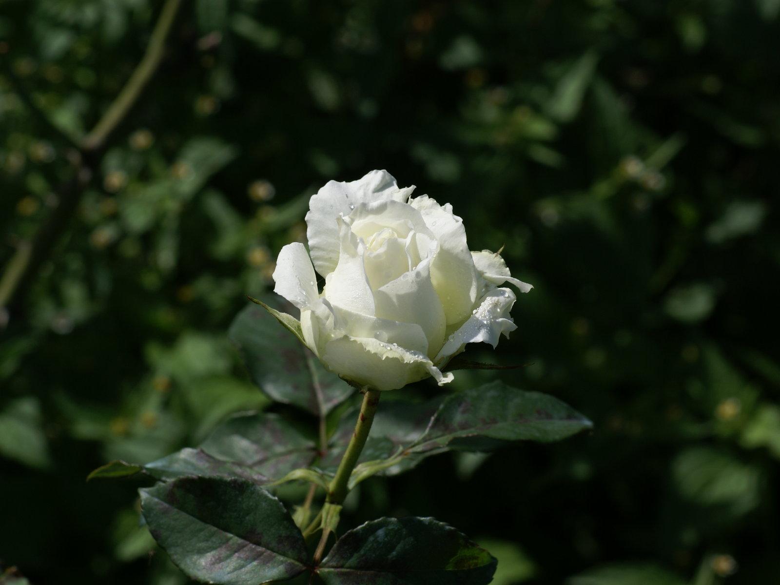 Roses wallpapers: Most beautiful roses free computer ...  Beautiful White Rose Wallpaper