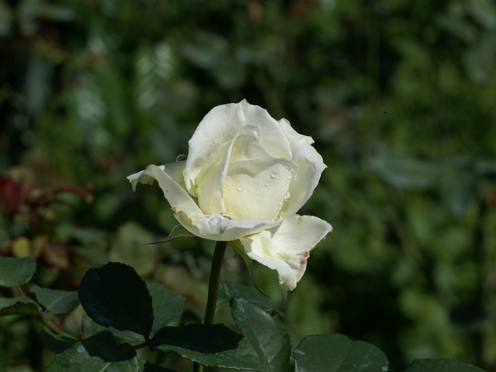 white roses pictures images pictures becuo