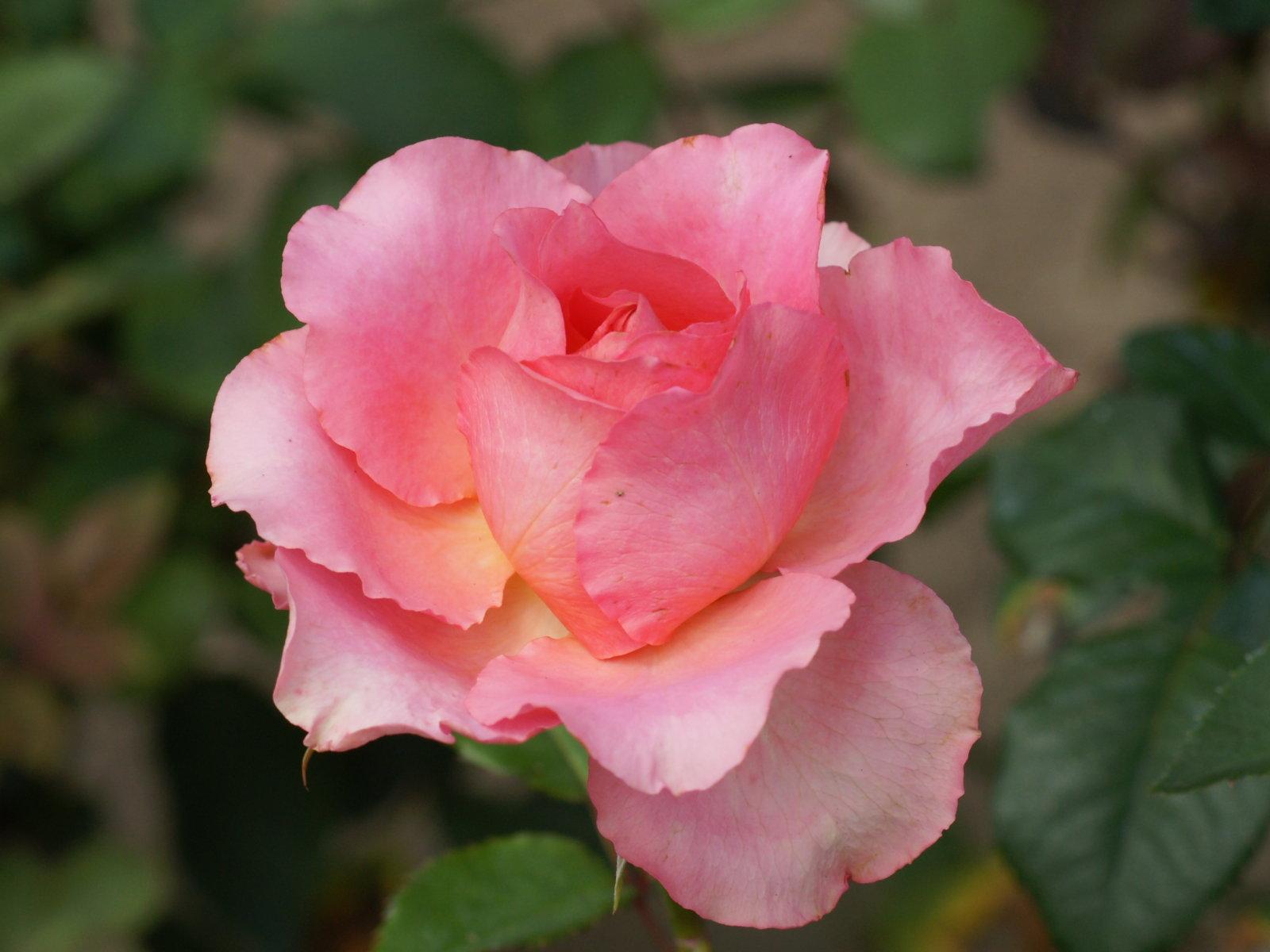Fonds d 39 cran belles roses fonds cran gratuits roses for Fond ecran rose