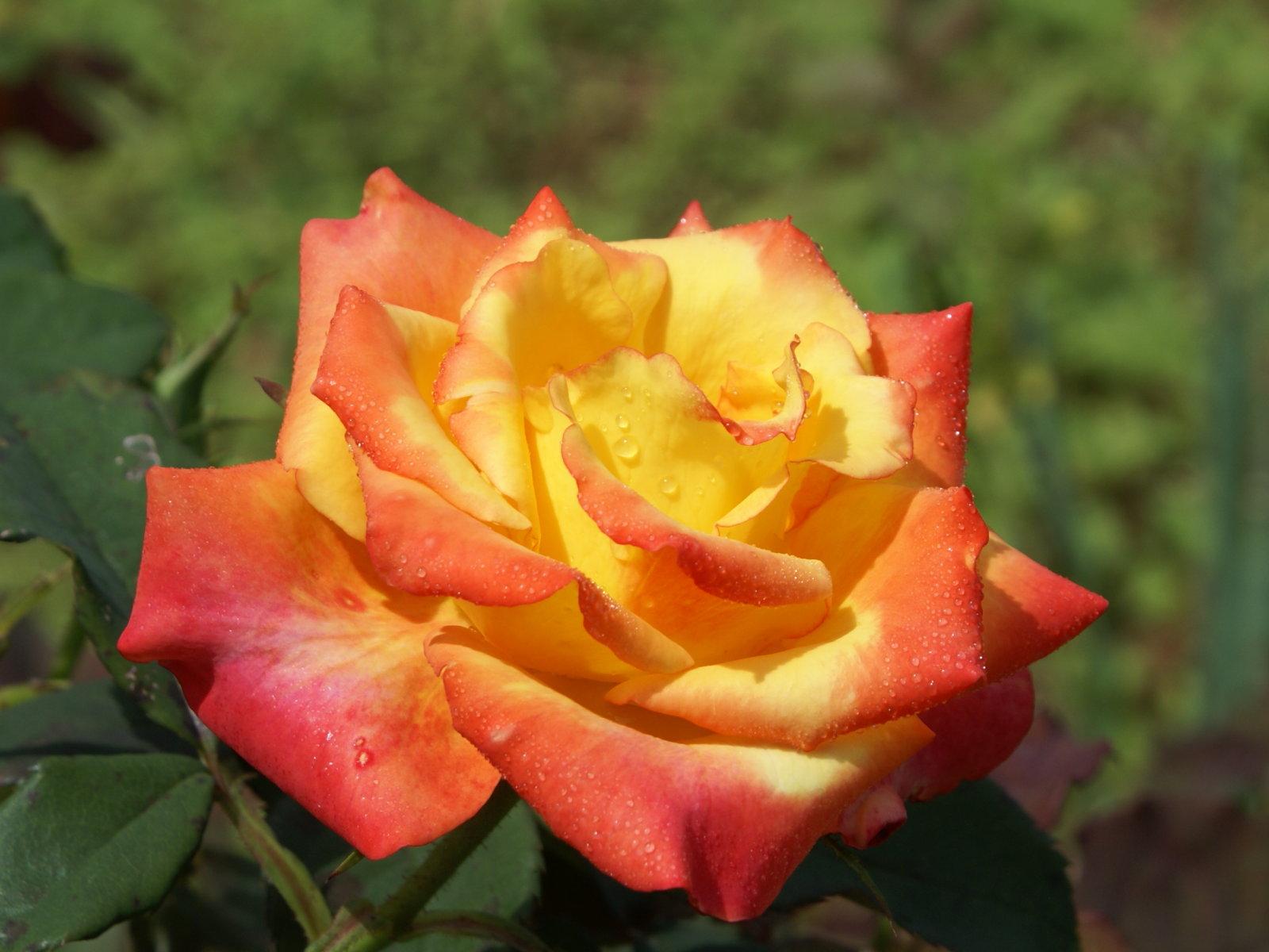 fonds d 39 cran belles roses fonds cran gratuits roses. Black Bedroom Furniture Sets. Home Design Ideas