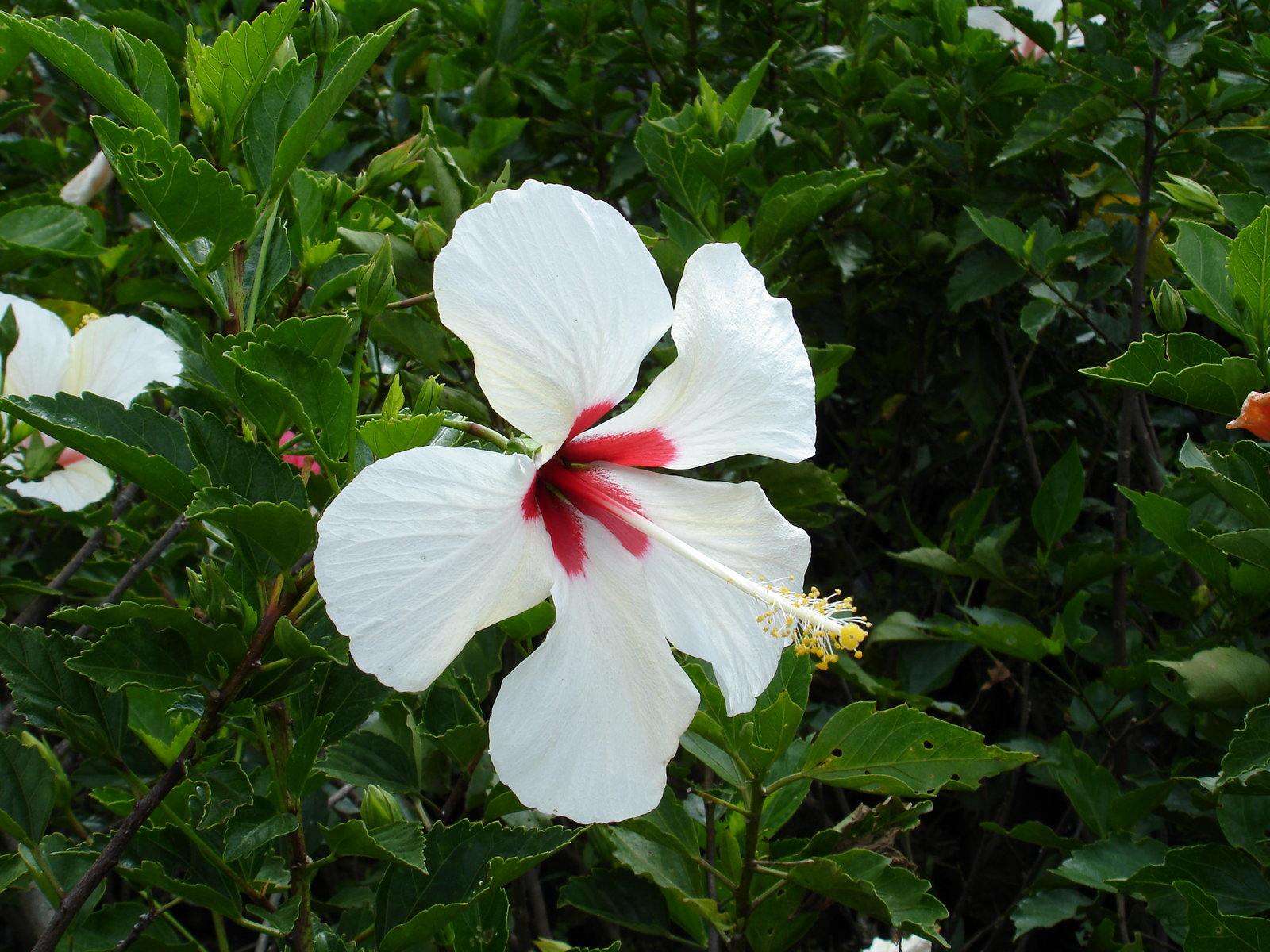 Tropical flowers wallpaper white hibiscus mightylinksfo