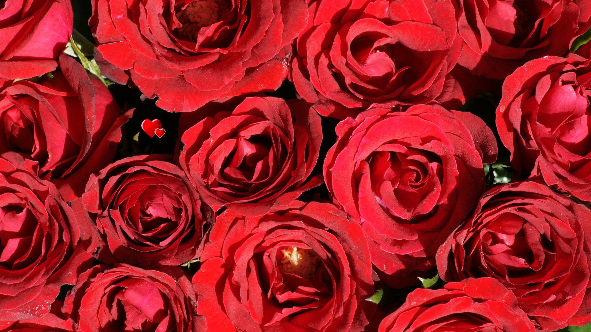 red rose desktop background - photo #25