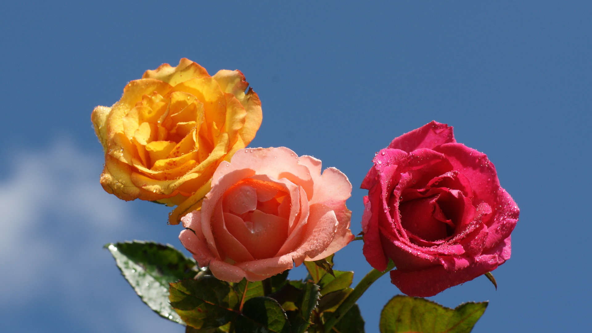 http://www.allabouthappylife.com/wallpaper/widescreen/roses/colorful-heavenly-roses-dsc05683.jpg