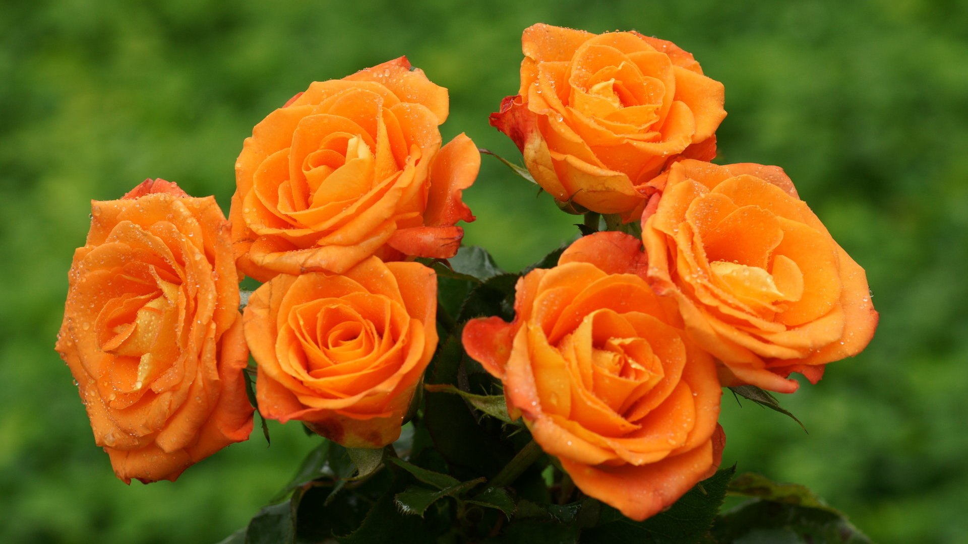 Widescreen wallpaper Orange rosesOrange Roses Wallpaper