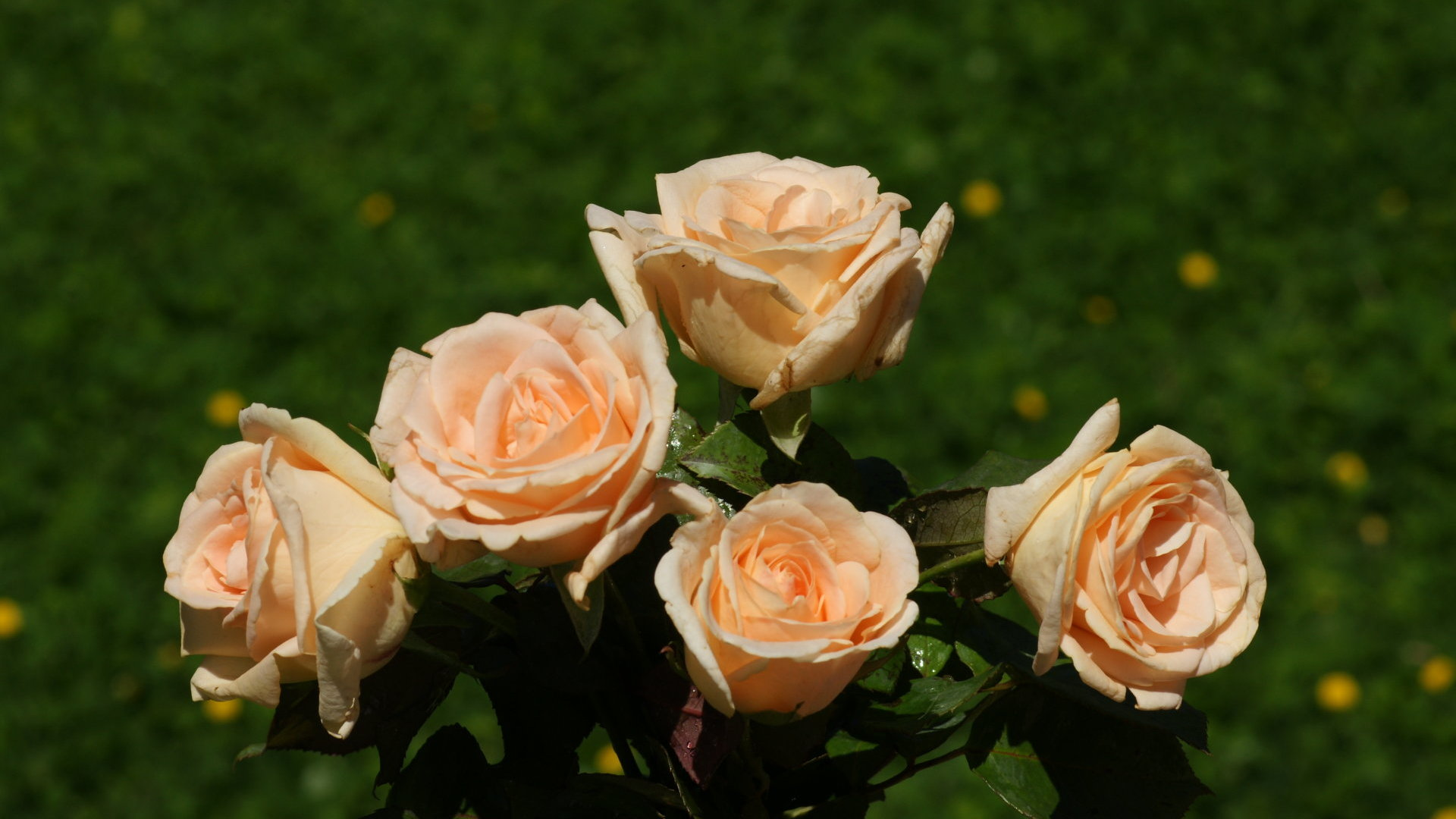Rose wallpaper beautiful roses - Peach rose wallpaper ...