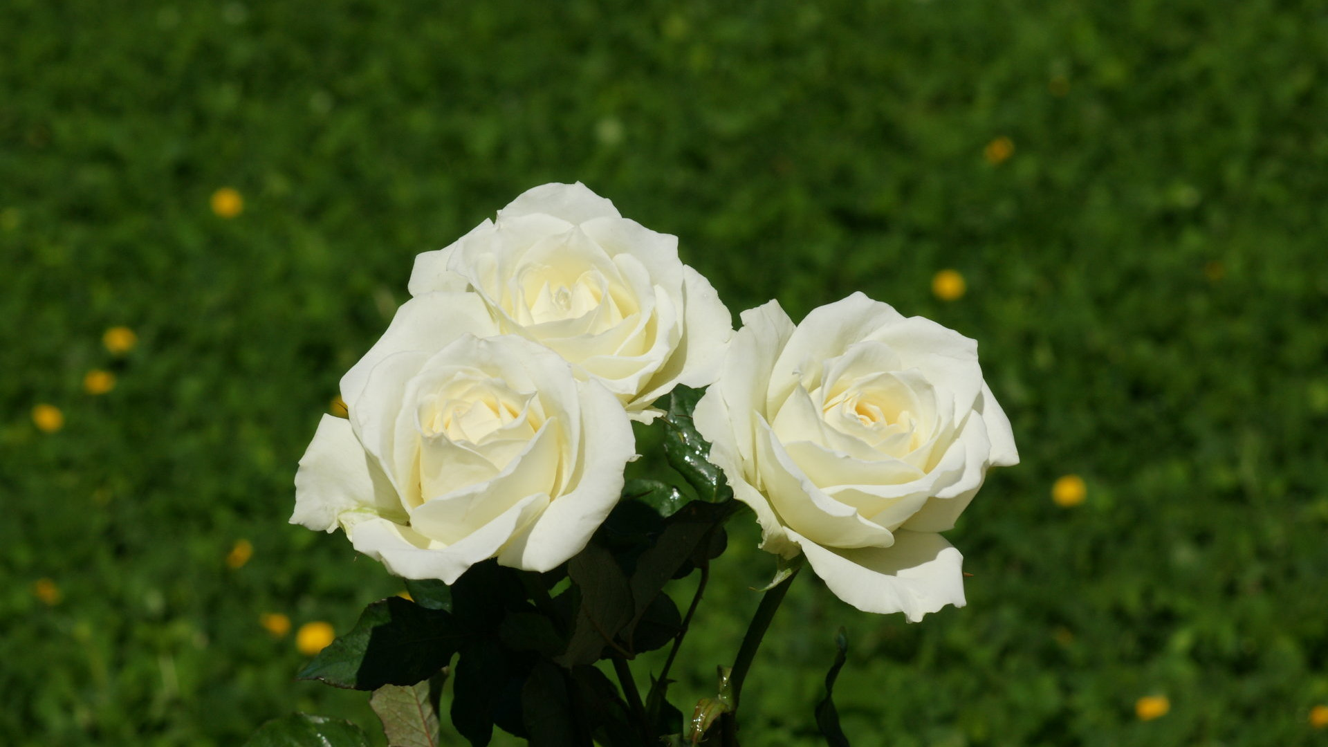 pics photos white rose wallpaper