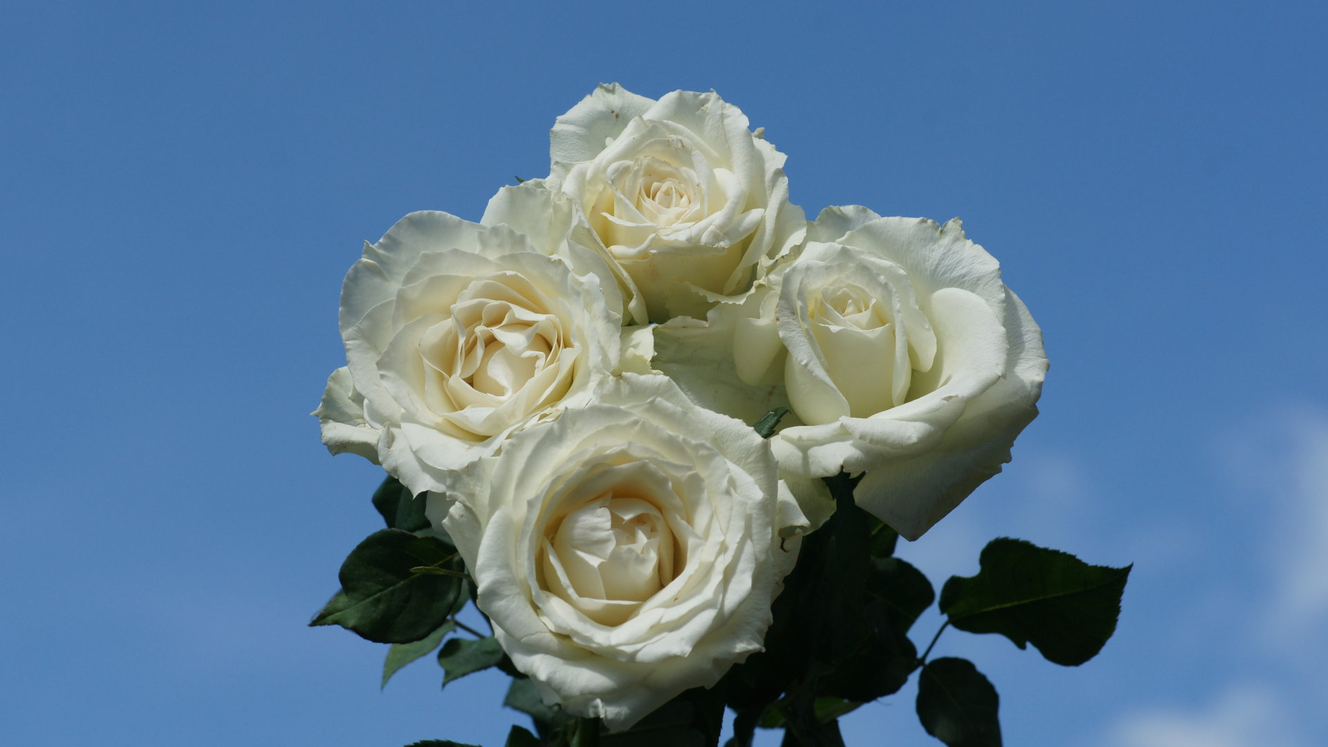 Blue And White Rose Wallpaper Wallpapers White Roses Blue