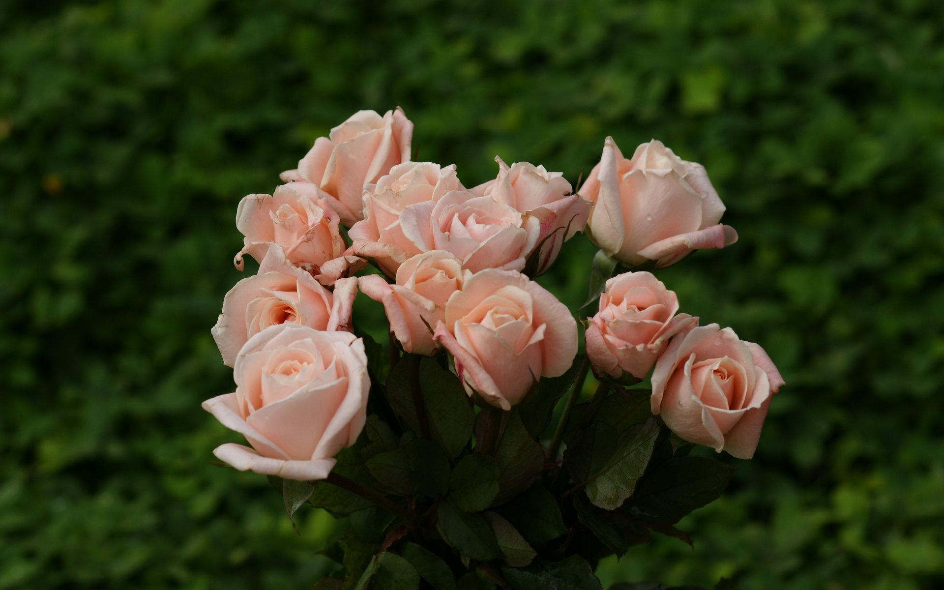 Roses Widescreen Wallpaper