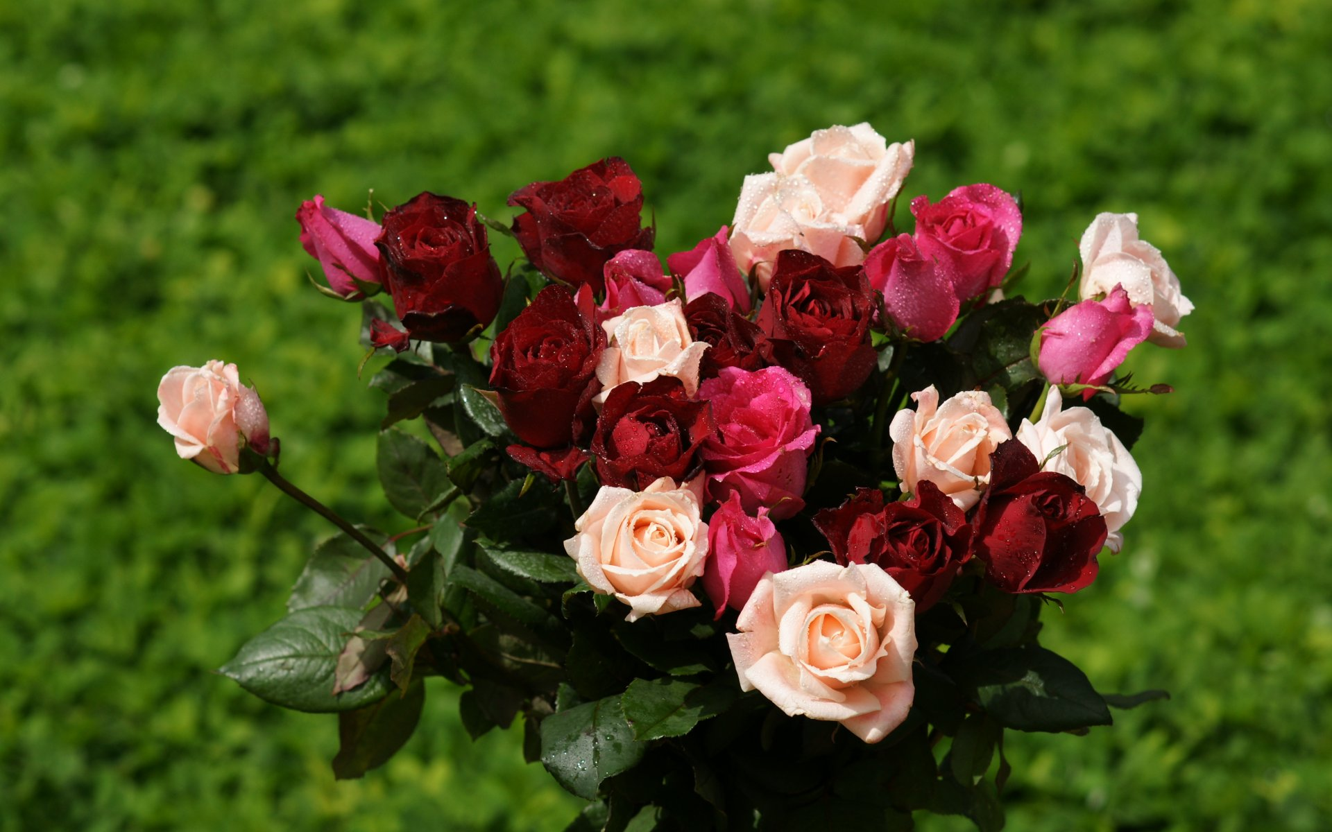 Wall Paper Wide Pink Rose Colours Soft Nature Flower: Roses Widescreen Wallpaper
