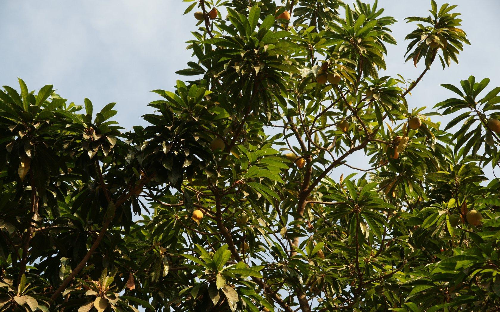 Mango tree wallpaper