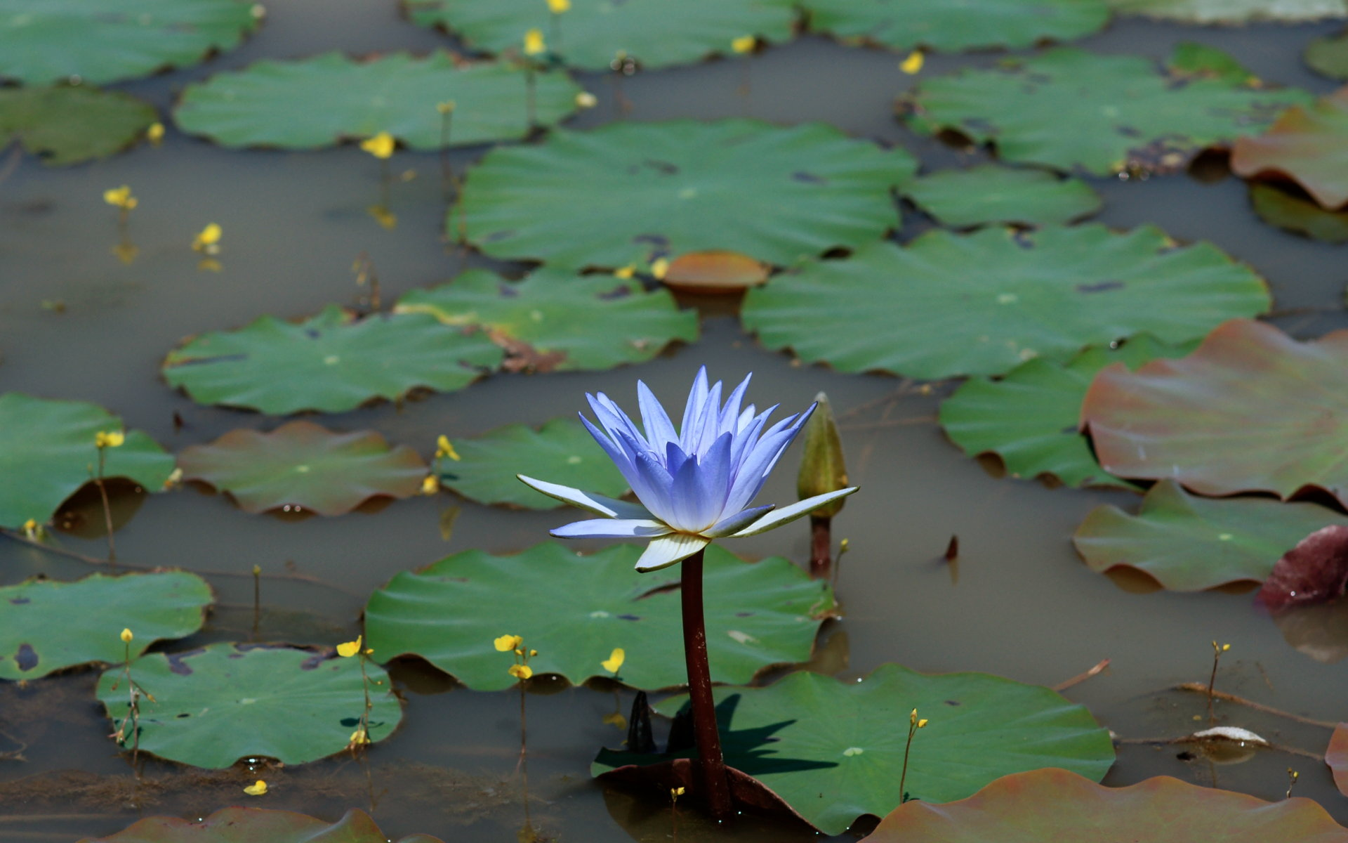 Beautiful Lotus Wallpaper