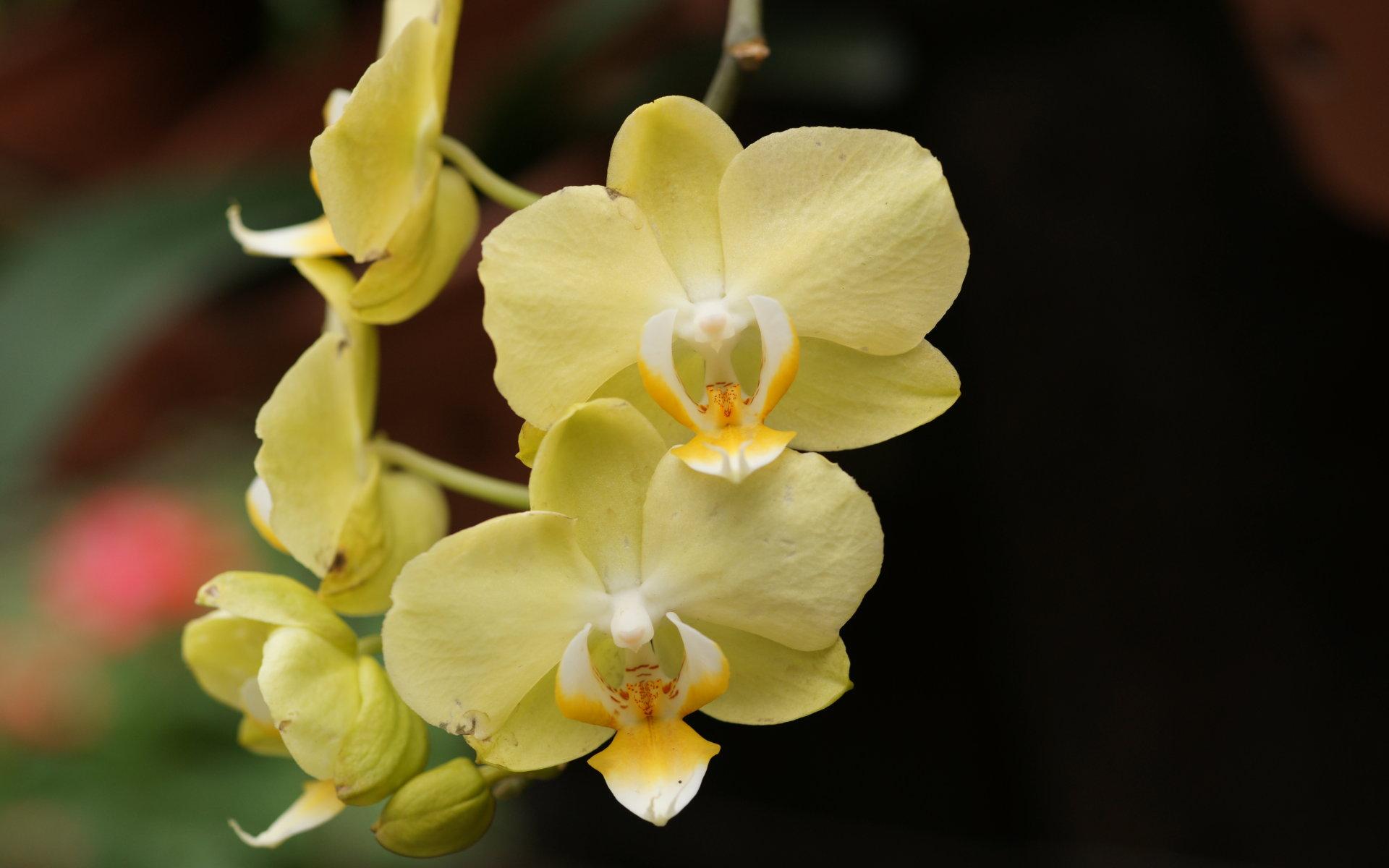 orquideas amarillas hermosas