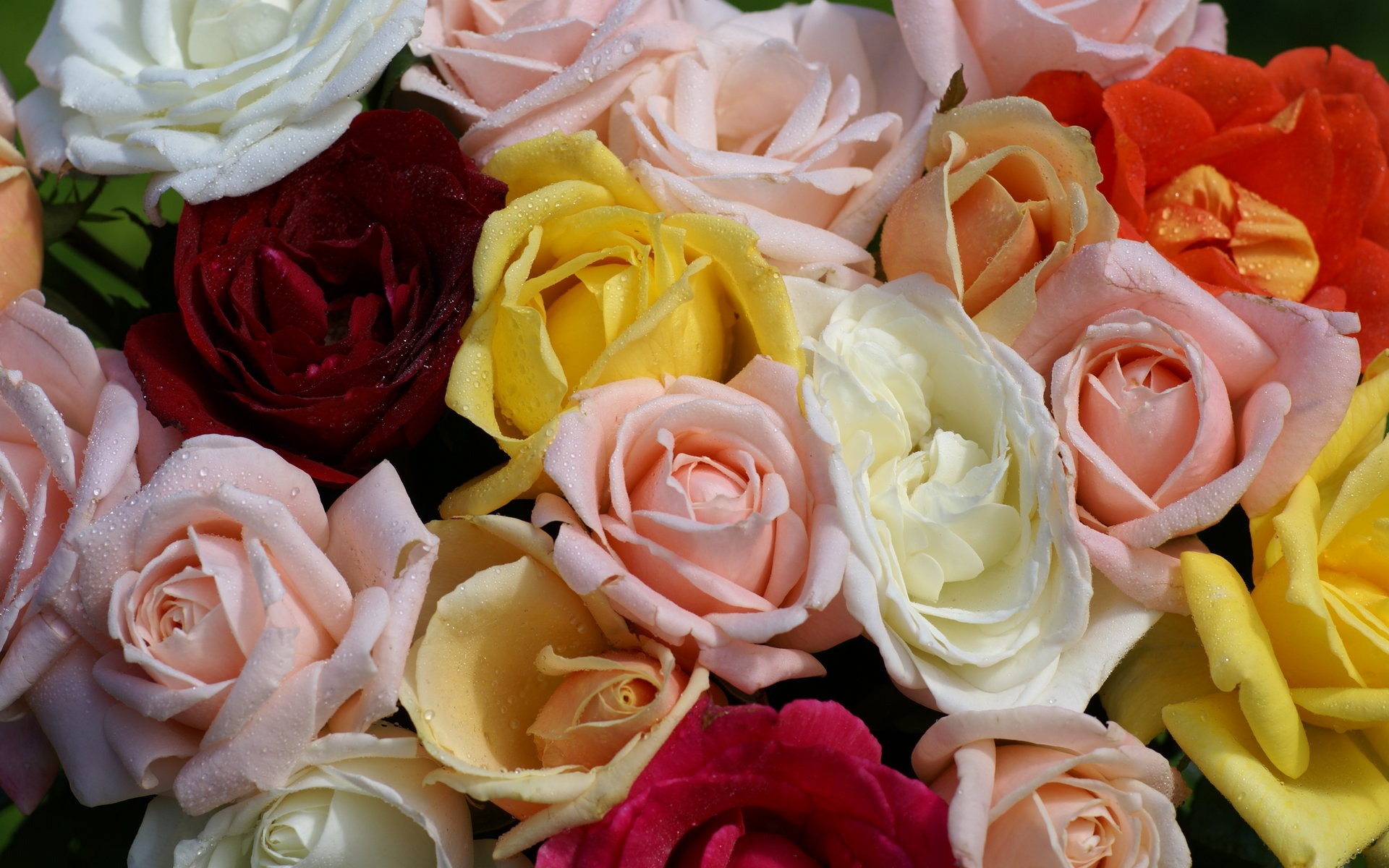 Peach colored rose Wallpapers Pictures