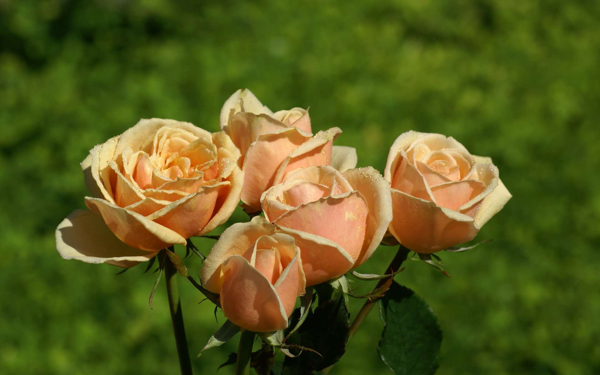 Beautiful roses widescreen wallpapers - Peach rose wallpaper ...