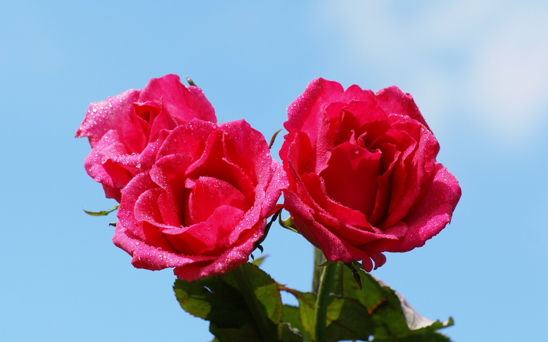 wallpapers widescreen pink roses - photo #22