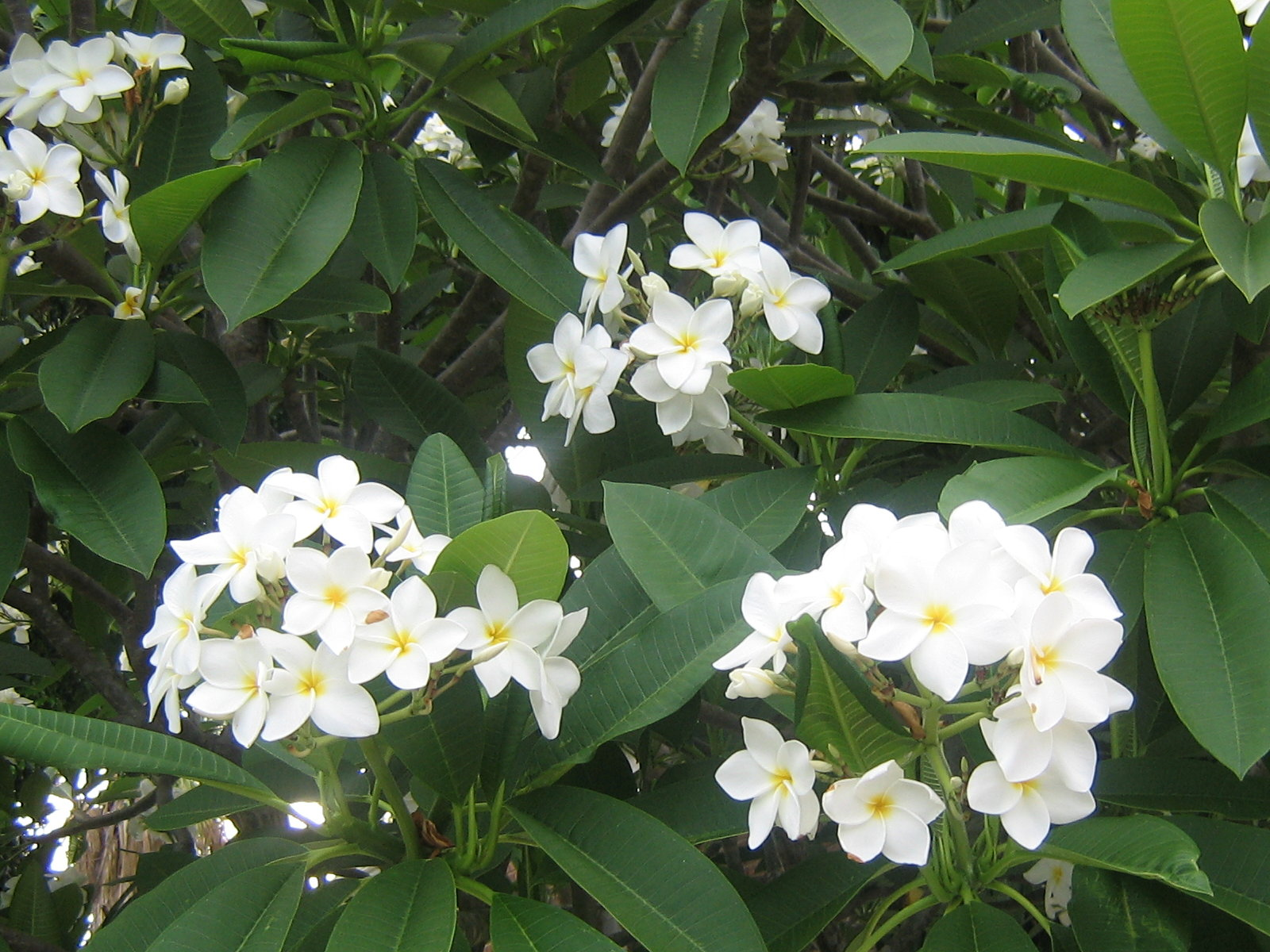 Frangipani Flowers Wallpapers